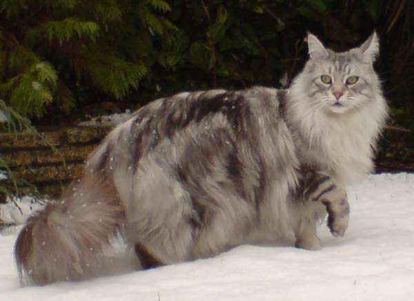 Maine Coon, Silver Tabby