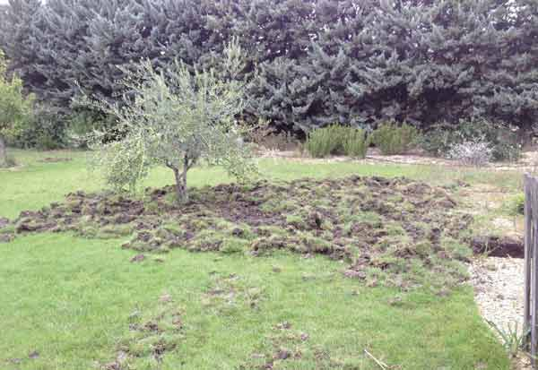 Boar's havoc in garden