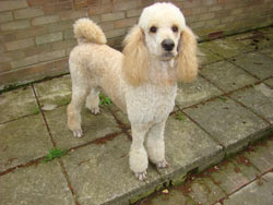 Poodle with Sporting Trim