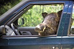 Boar in car