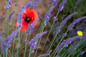 Poppy and Lavender, Provence